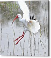 Ibis Soft Water Landing Acrylic Print