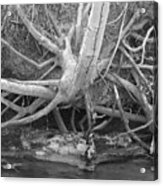Twisted Roots  Acrylic Print