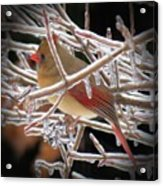 Ice Cage - Female Cardinal Acrylic Print