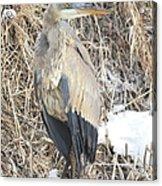 Ice Cold Heron Acrylic Print