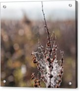 Ice Crystals On Dried Wild Flower Acrylic Print