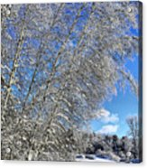 Ice Laden Birches Acrylic Print