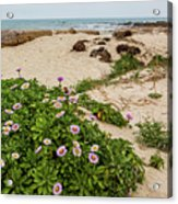 Ice Plant Booms On Pebble Beach Acrylic Print