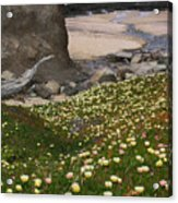 Ice Plants On Moss Beach Acrylic Print