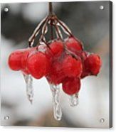 Ice Wrapped Berries Acrylic Print