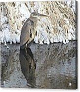 Iced Heron Acrylic Print