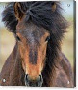 Icelandic Equine Beauty.. Acrylic Print