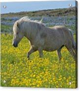 Icelandic Horse, Iceland Acrylic Print