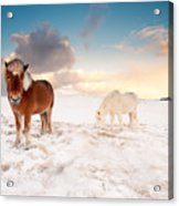 Icelandic Horses On Winter Day Acrylic Print by Ingólfur Bjargmundsson