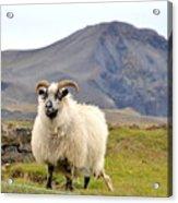 Icelandic Sheep Acrylic Print by Ambika Jhunjhunwala