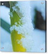 Icy Daffodil Acrylic Print