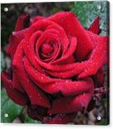 Icy Rose Acrylic Print