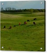 Idyllic Cows In The Hills Acrylic Print