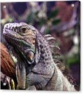 Iguana 338 Acrylic Print