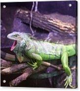 Iguana 339 Acrylic Print