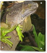 Iguana - A Special Garden Guest Acrylic Print