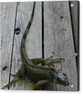 Iguana At The Ready Acrylic Print