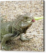 Iguana Eating Lettuce With His Tongue Sticking Out Acrylic Print