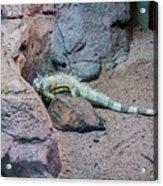 Iguana Iguana Acrylic Print