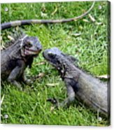 Iguana Kisses St Thomas Acrylic Print