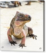 Iguana On The Beach Acrylic Print