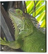 Iguana Puerto Rico Acrylic Print
