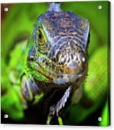 Iguana Stare Acrylic Print