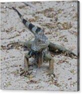 Iguana With A Striped Tail On A Sand Beach Acrylic Print