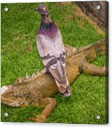 Iguana With Pigeon On Its Back Acrylic Print