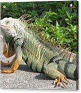 Iguania Sunbathing Acrylic Print