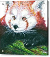 Illlustration Of Red Panda On Branch Drawn With Faber Castell Pi Acrylic Print