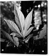 Illuminated Leaf, Black And White Acrylic Print
