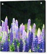 Illuminated Lupines Acrylic Print