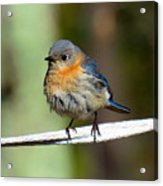Illusive Female Bluebird Acrylic Print