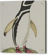 Illustration Of A Penguin Acrylic Print