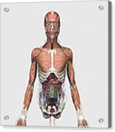 Illustration Of Upper Human Torso Acrylic Print