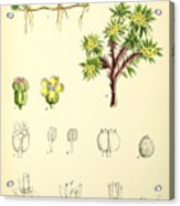 Illustrations Of The Flowering Plants And Ferns Of The Falkland Acrylic Print