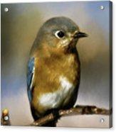 I'm A Bluebird Acrylic Print