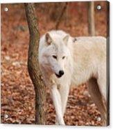 I'm A Wolf Acrylic Print