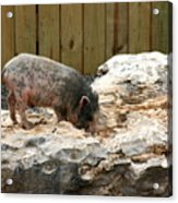 Im Not Your Ordinary Piglet Acrylic Print