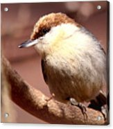 Img_0001 Brown-headed Nuthatch Acrylic Print