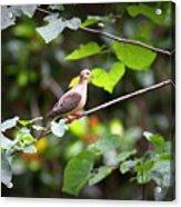 Img_0534-001 - Mourning Dove Acrylic Print
