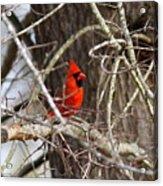 Img_0806 - Northern Cardinal Acrylic Print