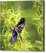 Img_0841-003 - Red-winged Blackbird Acrylic Print