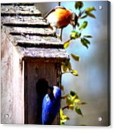 Img_1154 - Eastern Bluebird Acrylic Print