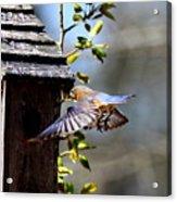 Img_1753-001 - Eastern Bluebird Acrylic Print