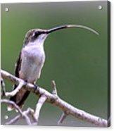 Img_1768-001 - Ruby-throated Hummingbird Acrylic Print