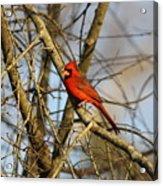 Img_2757-001 - Northern Cardinal Acrylic Print