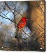 Img_2866-001 -  Northern Cardinal Acrylic Print