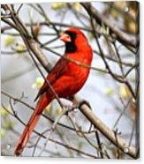 Img_2902-004 - Northern Cardinal Acrylic Print